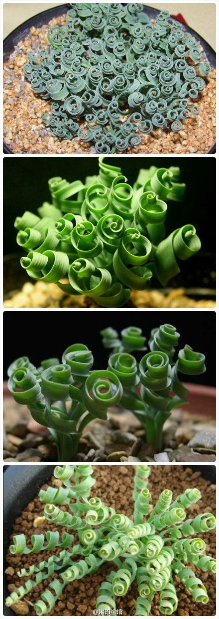 Spiral Grass or better known as Curly Succulent. This is so pretty......
