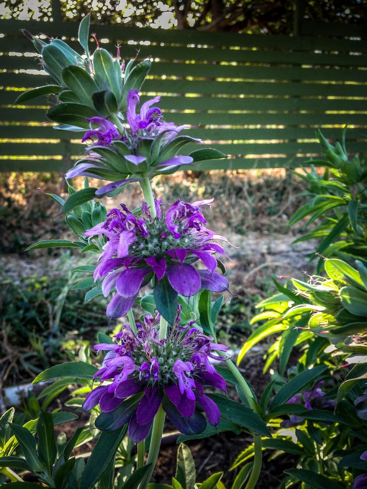This plant is the most prolific flower we've grown on our farm, period. Lemon Bee Balm (Monarda citriodora) has a more rapid growth rate than its Bergamot Lavender relative; a few spring plants of thi