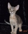 $800 Abyssinian Kitten so beautiful! (REPIN if you agree)