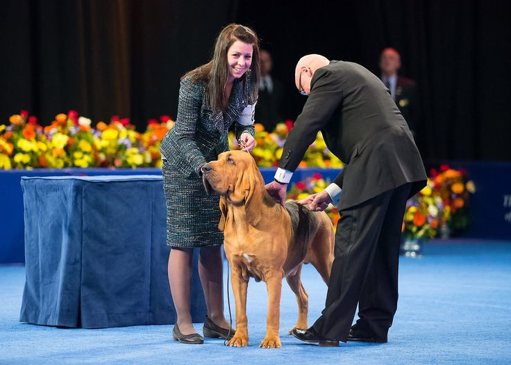 and the winner is...Nathan, the Bloodhound (Best in Show, Hound Group Winner) 2014 National Dog Show