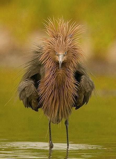 This is how I feel at the end of the day :) Reddish Egret is a small heron ~ Wild for Wildlife and Nature