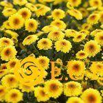 Chrysanthemum Indicum Grp tros santini Calimero Shiny