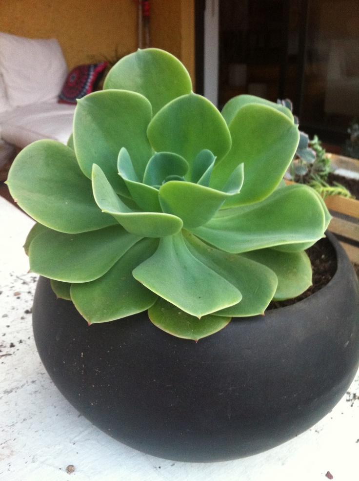 Suculenta Rosa Verde Plantas De Nuestra Casa Pinterest