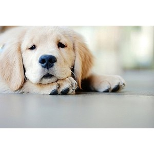 golden <3: Buckets Lists, Adoption A Dogs, Little Puppies, Dogs Day, Pets, Dogs Lovers, Labrador Puppies, Animal, Golden Retriever Puppies