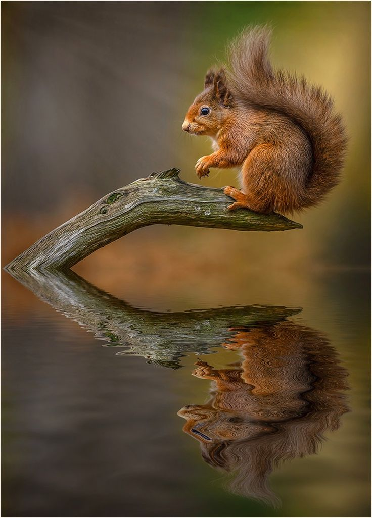 Squirrel - Reflection - titled 'Watching' - by Paul Keates