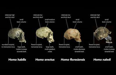 Nuevas especies de homínidos, nuevo árbol filogenético y muchas incertidumbres   Antrophistoria