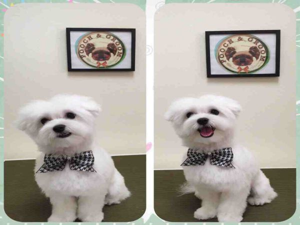 teddy puppy haircuts maltese haircut style teddy cut maltipoo and 6245