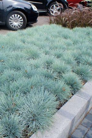 Festuca glauca common blue fescue from North Creek Nurseries