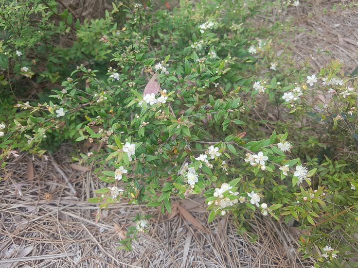 Midyim (Austromyrtus dulcis) flowers in January,
