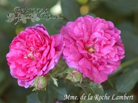 Mme. de la Roche Lambert | Petrovic Roses