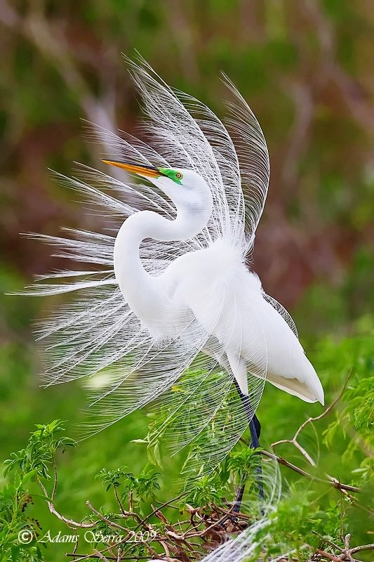 Egret is one of the most beautiful birds. I am so glad it is against the law to kill any type of egret now.  Their feathers at one time were used for hats.  They were almost wiped out until the law was passed.