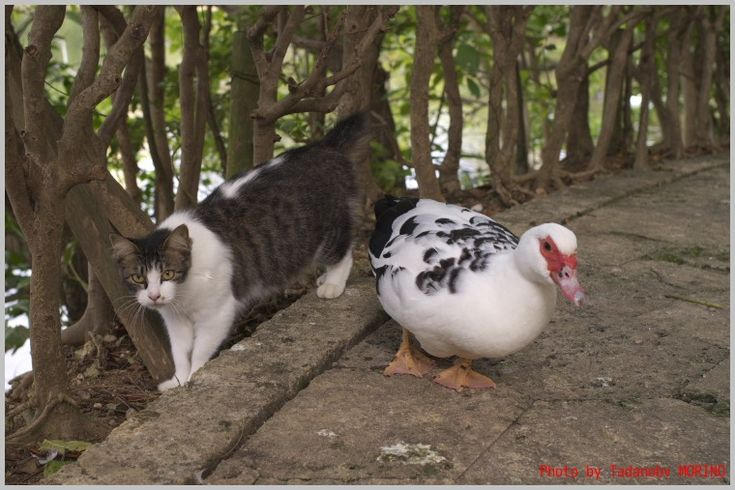 バリケンと猫①の画像:CAFE IL MORINO by Tadanobv MORINO