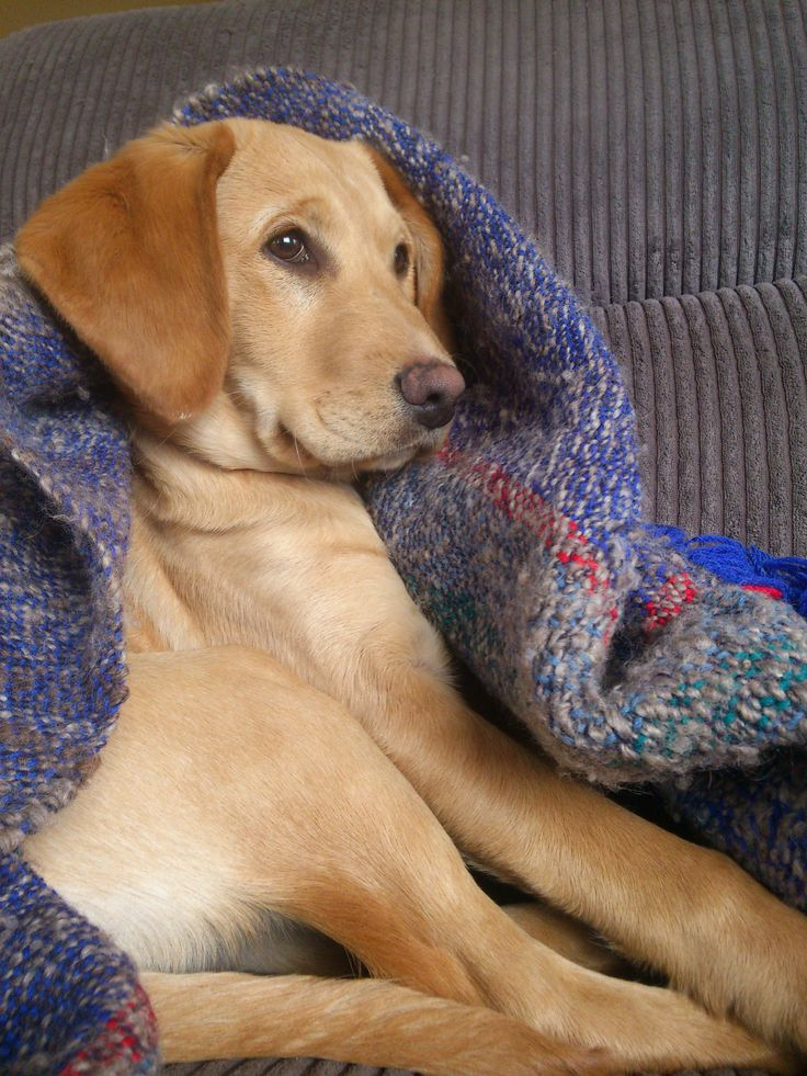 Labraspoodle Mischa Cute Puppy Heart Melter