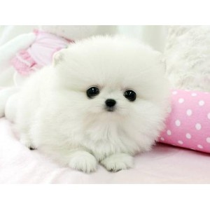 White Pomeranian Puppy. I want one so bad!!!!! It's like a little adorable puff of cloud in your hand!