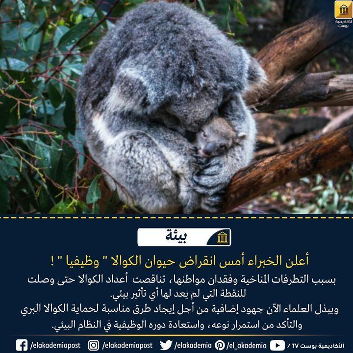 أعلن الخبراء أمس انقراض حيوان الكوالا وظيفيا هذا يعني أن أعداد الكوالا تناقصت حتى وصلت للنقطة التي لم يعد لها أي تأثير بيئي ع Koala Bear Koala Animals