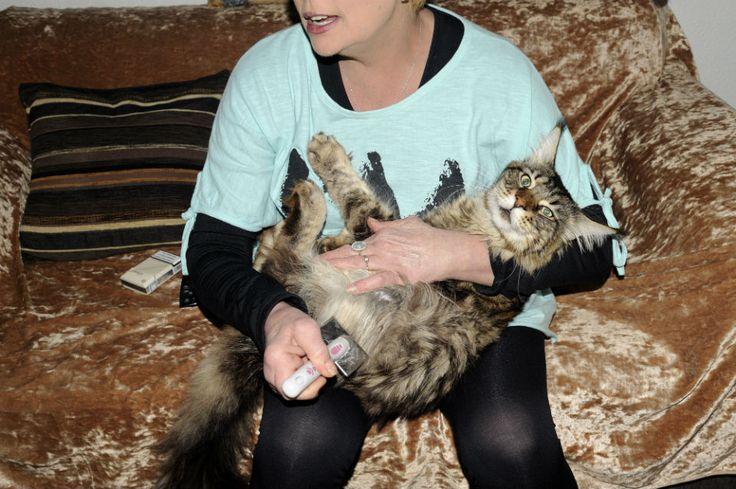 Η Νεκταρία ζει στη Σαλαμίνα με 30 τεράστια γατόσκυλα  Οι Maine Coon είναι οι πιο φιλικές γάτες που υπάρχουν. Και οι πιο μεγάλες σε μέγεθος. Και ιδιοκτήτριά τους κάνει συλλογή από βραβεία.