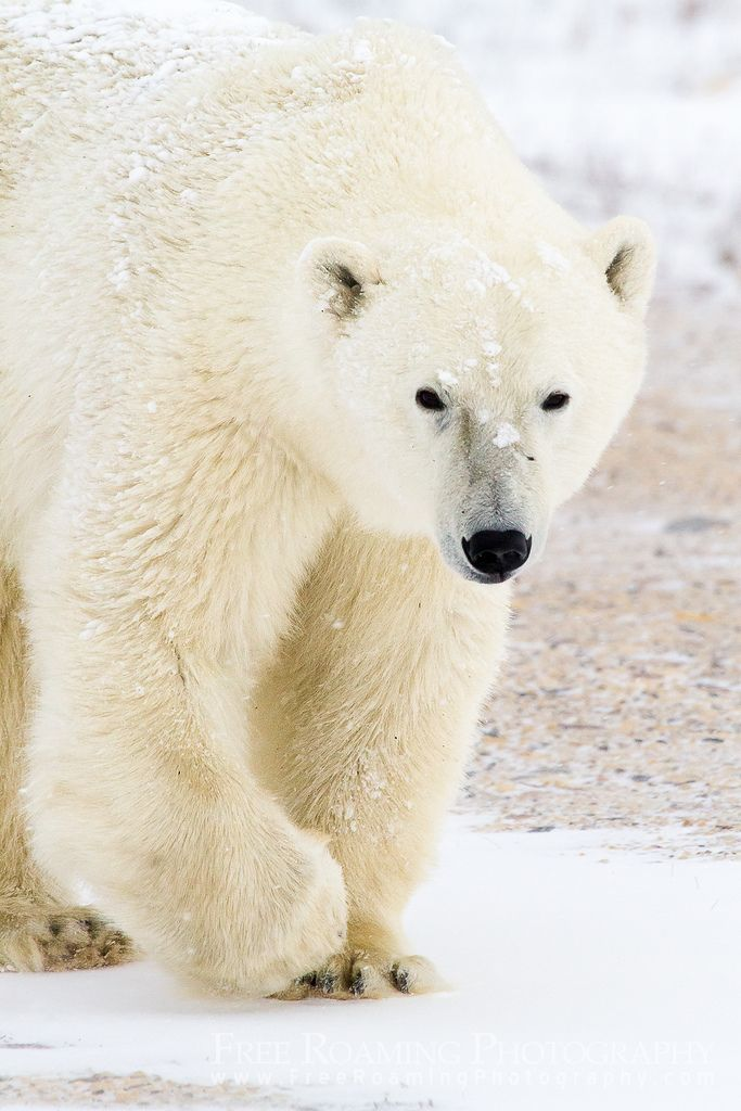 Approaching Polar Bear by Free Roaming Photography**