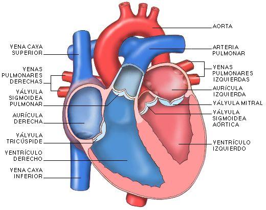 Todas Las Partes Del Corazon | El corazón es un órgano hueco, cuyas paredes están formadas por un ...