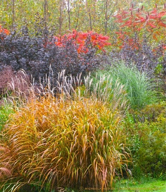 October showing ornamental grasses physocarpus 39 diablo for Tall grass border