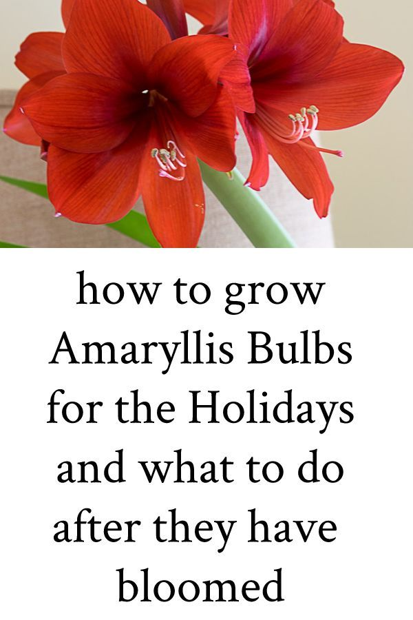 Tips On How To Grow Amaryllis Bulbs For The Holidays And What To Do With The Bulbs After They Have Bloomed Tips Amaryllis Bulbs Amaryllis Plant Amaryllis Care