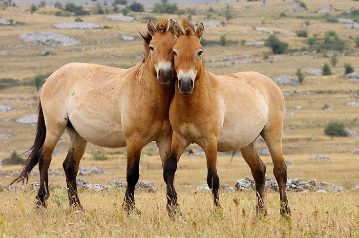 Przewalski Pferde im Ukraine Reiseführer http://www.abenteurer.net/3343-ukraine-reisefuehrer/