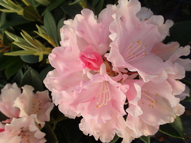 Rhododendron Yakushimanum  Dreamland  Evergreen Shrub Pink Flowers. 2 Litre
