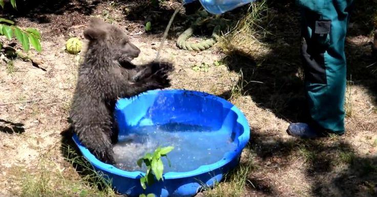 Cisna szaleje w wodzie: przez upały spotkania z niedźwiedzicą już o 9.30