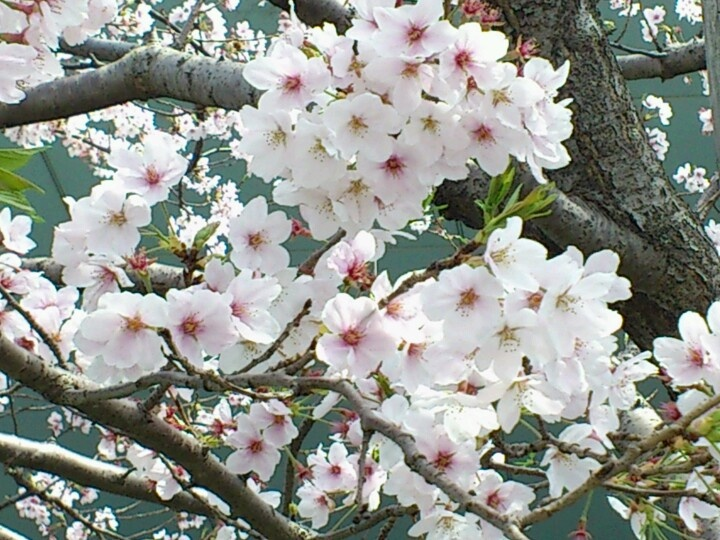 "My favorite flower ""Sakura"""