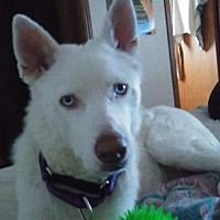 Pictures of Ice a Siberian Husky for adoption in New York, NY who needs a loving home.