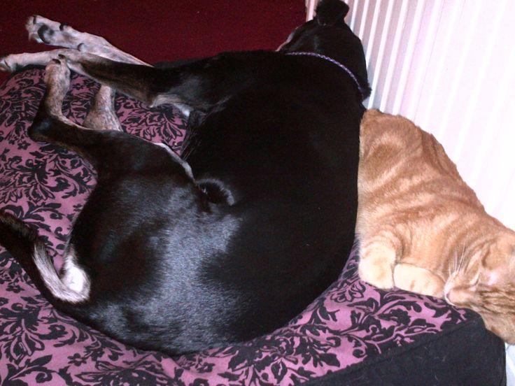 Tri Colour Lurcher & a Cat