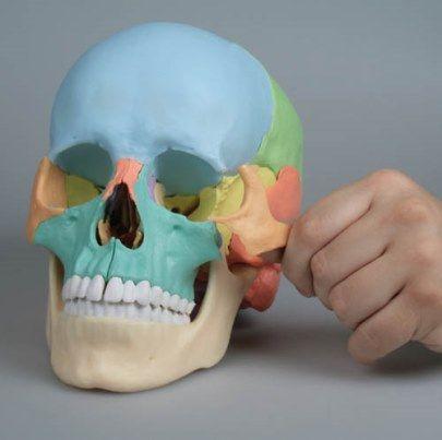 Crânio colorido que pode ser desmontado em 22 ossos individuais.