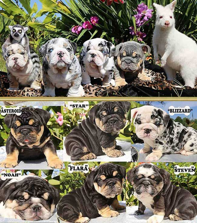 How To Care For English Bulldogs English Bulldog Puppies Blue Merle English Bulldog Care In 2020 English Bulldog Puppies Bulldog Puppies Bulldog Puppies For Sale