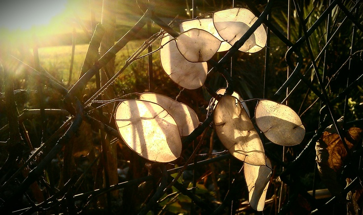 Circular see-through seeds in the sun and fence detail by Enfield Town Park tennis courts.
