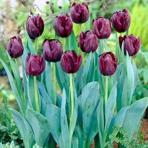 Buy Garden Plants online for the Garden from Gardening Express. Choose from a vast selection of garden plants from Perennials, shrubs, climbers, trees, grasses, ferns, bamboos, bulbs, fruit, hedging, Mediterranean plants, bedding plants, roses and more.