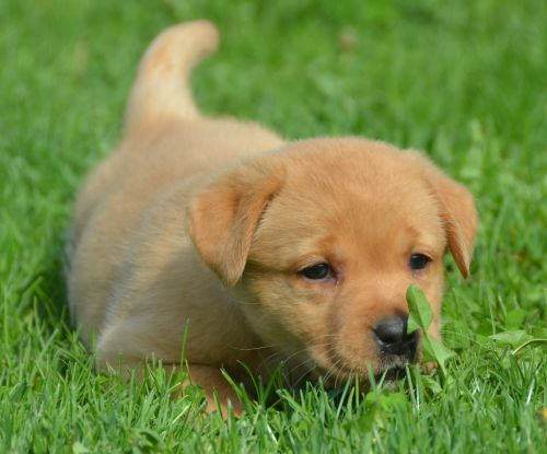 Fox Red English Lab Pups - Family Loved Labs -English Labradors for Sale