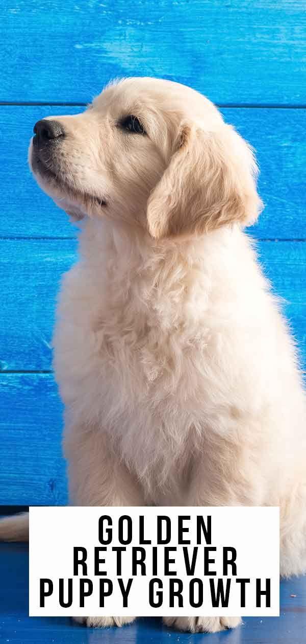 Golden Retriever Puppy Growth And Development Retriever Puppy
