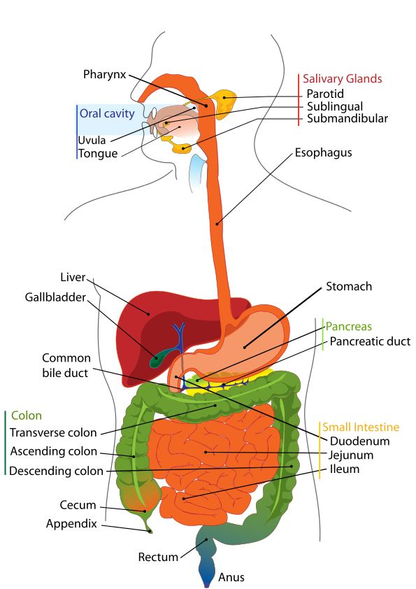 Digestive System Diagram A famous saying...health begins in the bowels.  http://EzineArticles.com/9103985 is an article about Probiotics, and if you decide you need probiotics, the ones I use I buy from here and they work well for me.  http://cherylj.myplexusproducts.com