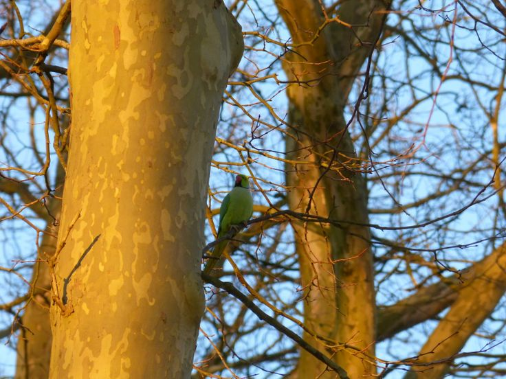Nature from my window: Perruche à collier (Rose-ringed Parakeet)
