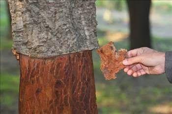 Abdülhamid Han'a Hediye Edilen Ağacın Sırrı