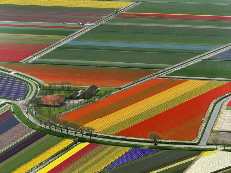 Aerial photo of Tulip Field in Amsterdam Netherlands.