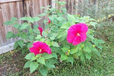 hibiscus-bush (transplanting hibiscus)