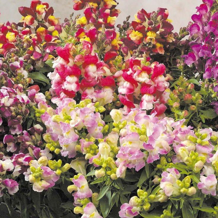 Snapdragon Floral Showers Mix | ... Leão Anã - Antirrhinum F1 Floral Showers Bicolor Mix - 1000 sementes