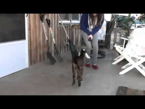 A goat learning how to jump. Adorable.