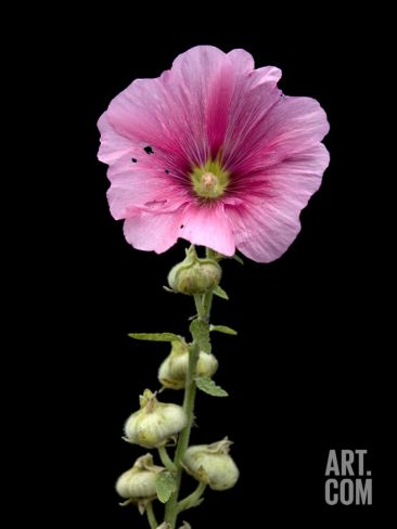 A Common Hollyhock Flower, Alcea Rosea Photographic Print by Joel Sartore at Art.co.uk
