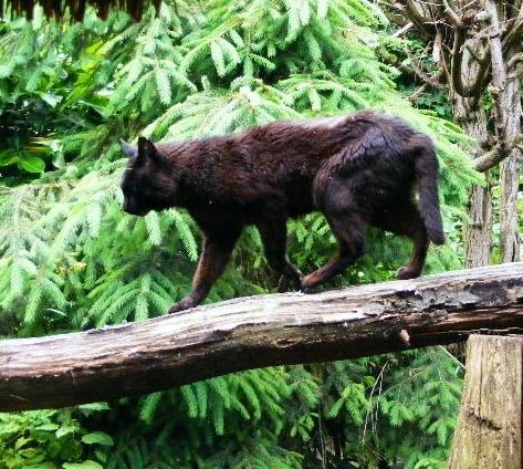 1000+ images about MELANISTIC MAMMALS on Pinterest   Black ...
