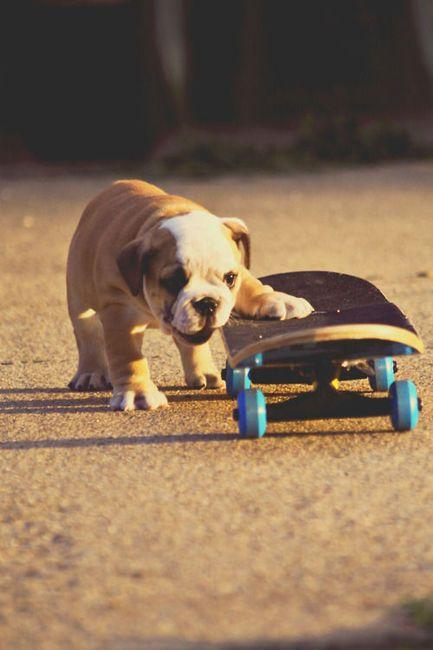 bulldogs =)One Day, Skateboards, Bulldogs Puppies, Funny Dogs, English Bulldogs, Baby Animal, Skating, Pugs Life, Bull Dogs
