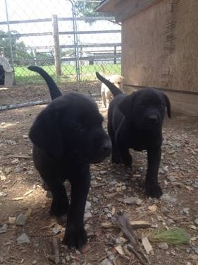 AKC Lab Puppies yellow and black. FOR SALE!