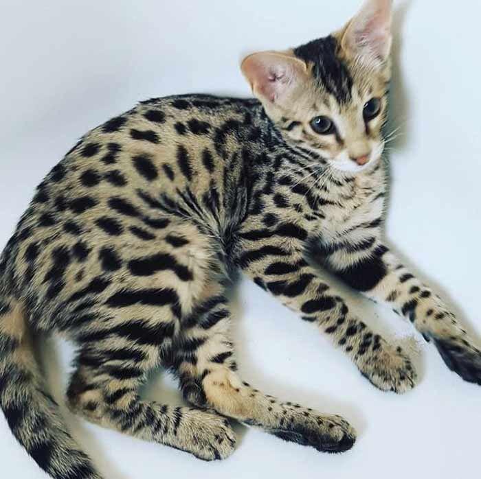 Gato Savannah Todo Sobre El Gato Más Alto Del Mundo Feelcats Razas De Gatos Gatos Gatos Salvajes