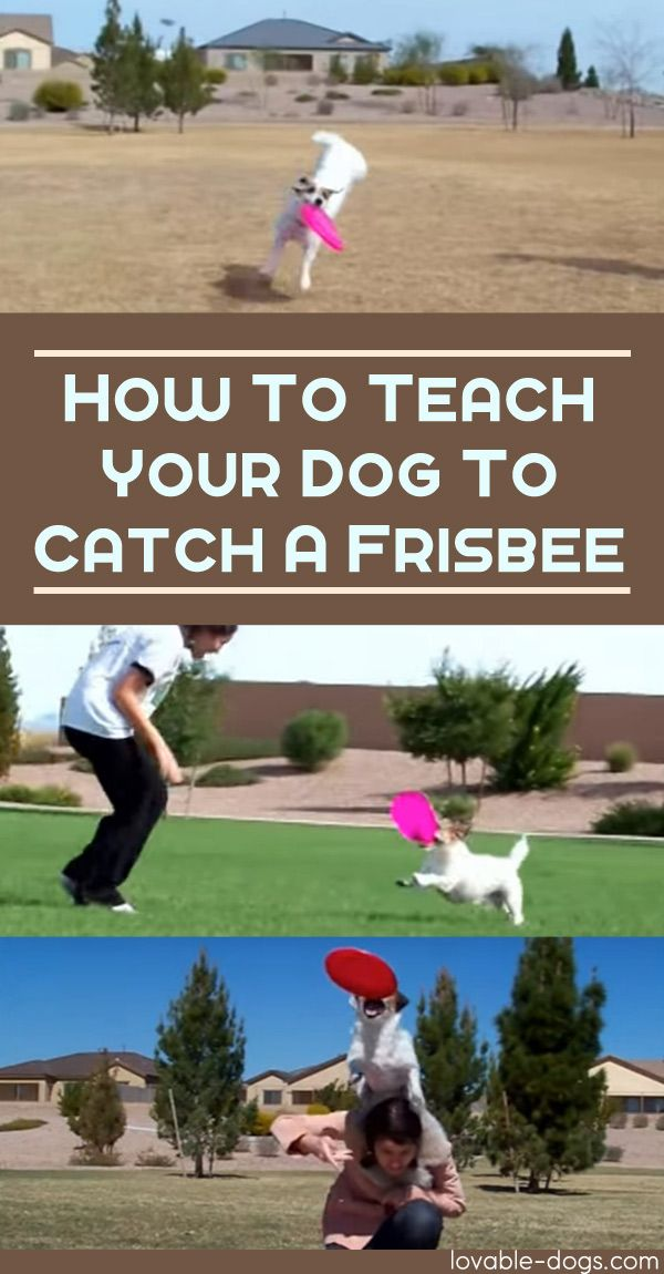 How To Teach Your Dog to Catch a Frisbee►►http://lovable-dogs.com/how-to-teach-your-dog-to-catch-a-frisbee/?i=p