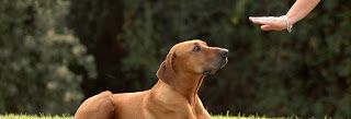 dressage de chien à domicile à rabat, temara, kenitra, casablanca, maroc.: Comment dresser un chien ?